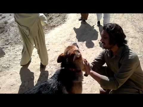 jarman shepherd in Quetta.mp4