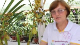 Rabo de Tatu ou Cyrtopodium é uma orquídea bastante cobiçada. Neste...