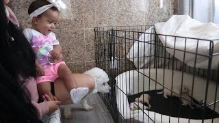 Bichon Frise 2 Week Old Puppies Growth | My baby niece funny reaction to meeting puppies