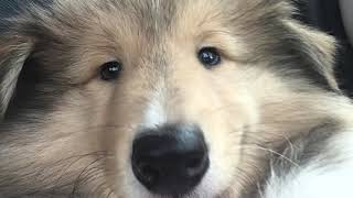 GETTING A ROUGH COLLIE PUPPY!!!