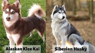 Alaskan klee kai vs Siberian Husky [Detailed Analysis]