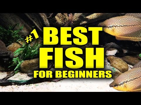 Best Aquarium Fish For Beginners