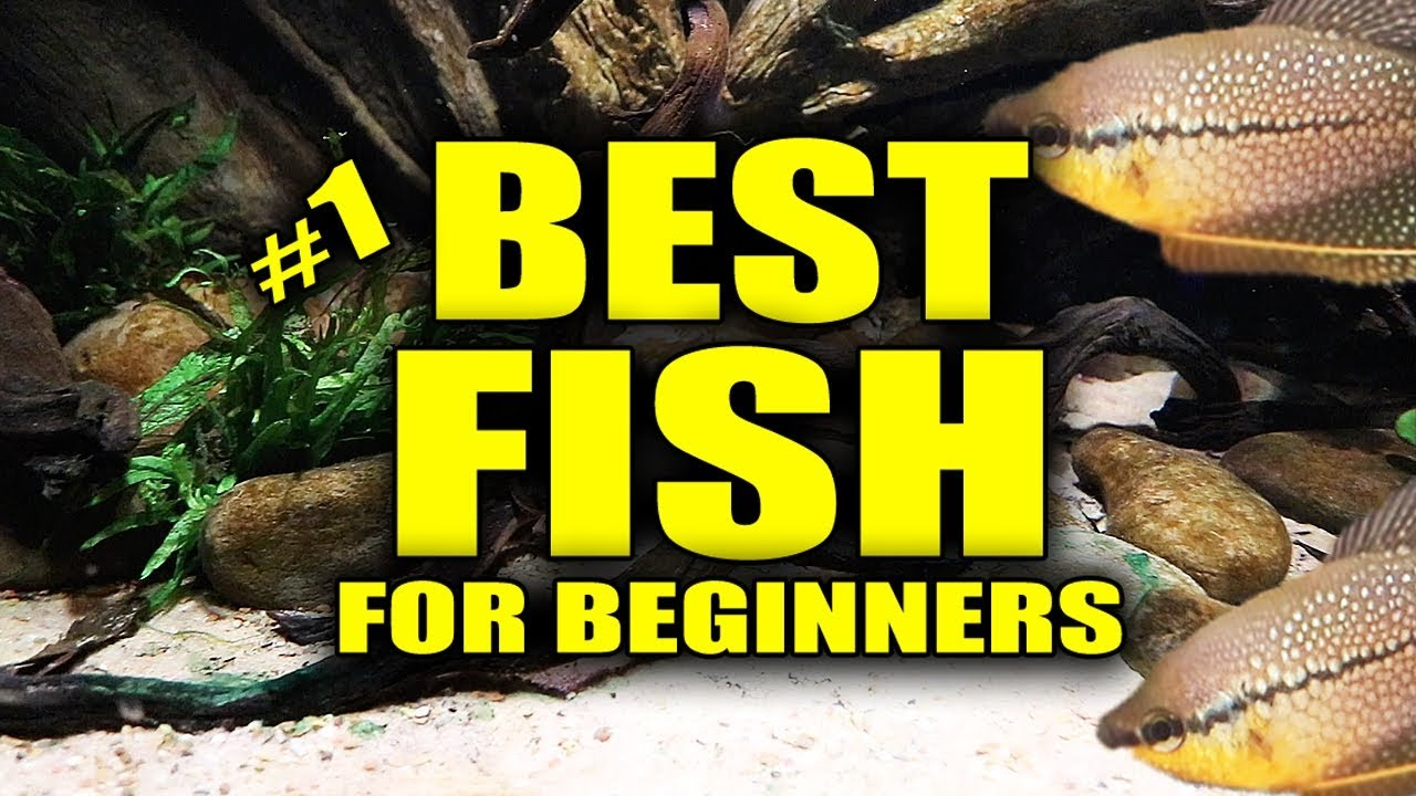 Best aquarium fish for beginners youtube for Best fish tanks for beginners