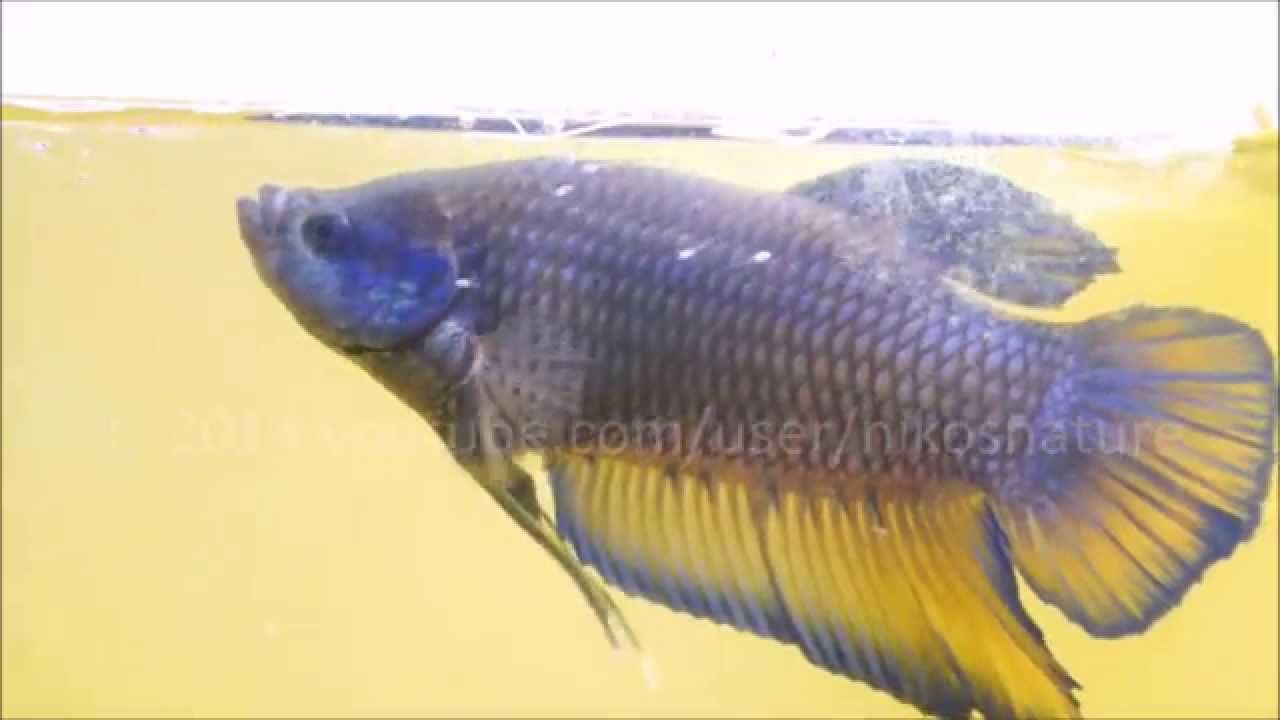 Giant betta father with free swimming fry youtube for Tilapia swimming