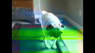 Imag0003.avi  Pug Walk Treadmill For Weight Loss