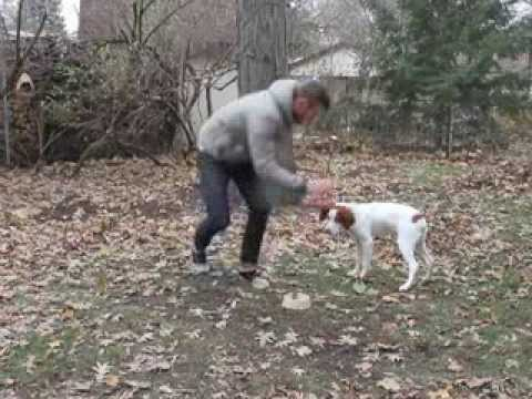 Brittany Spaniel Tricks and Training