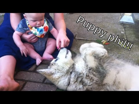 Puppy Phil Alaskan malamute