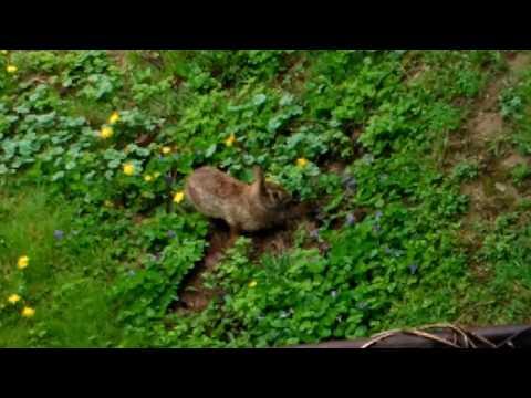 Wild Rabbit Building A Nest For Babies Part 1