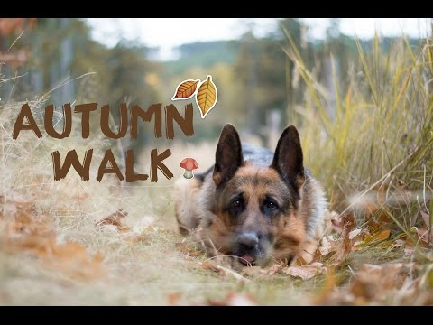 Autumn walk / German shepherd Denis ♥