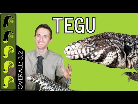 Argentine Tegu, The Best Pet Lizard?
