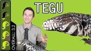 Argentine Tegu, The Best Pet Lizard?