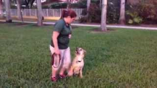 Off Leash Heeling - Miami Dog Obedience Training - Hibiscus Island - 3yr Old Terrier Mix