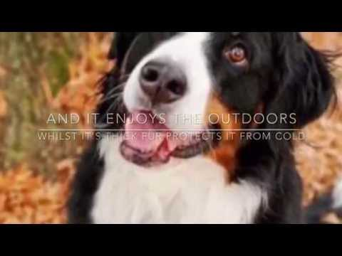 Fun Facts about Bernese Mountain dogs episode 11