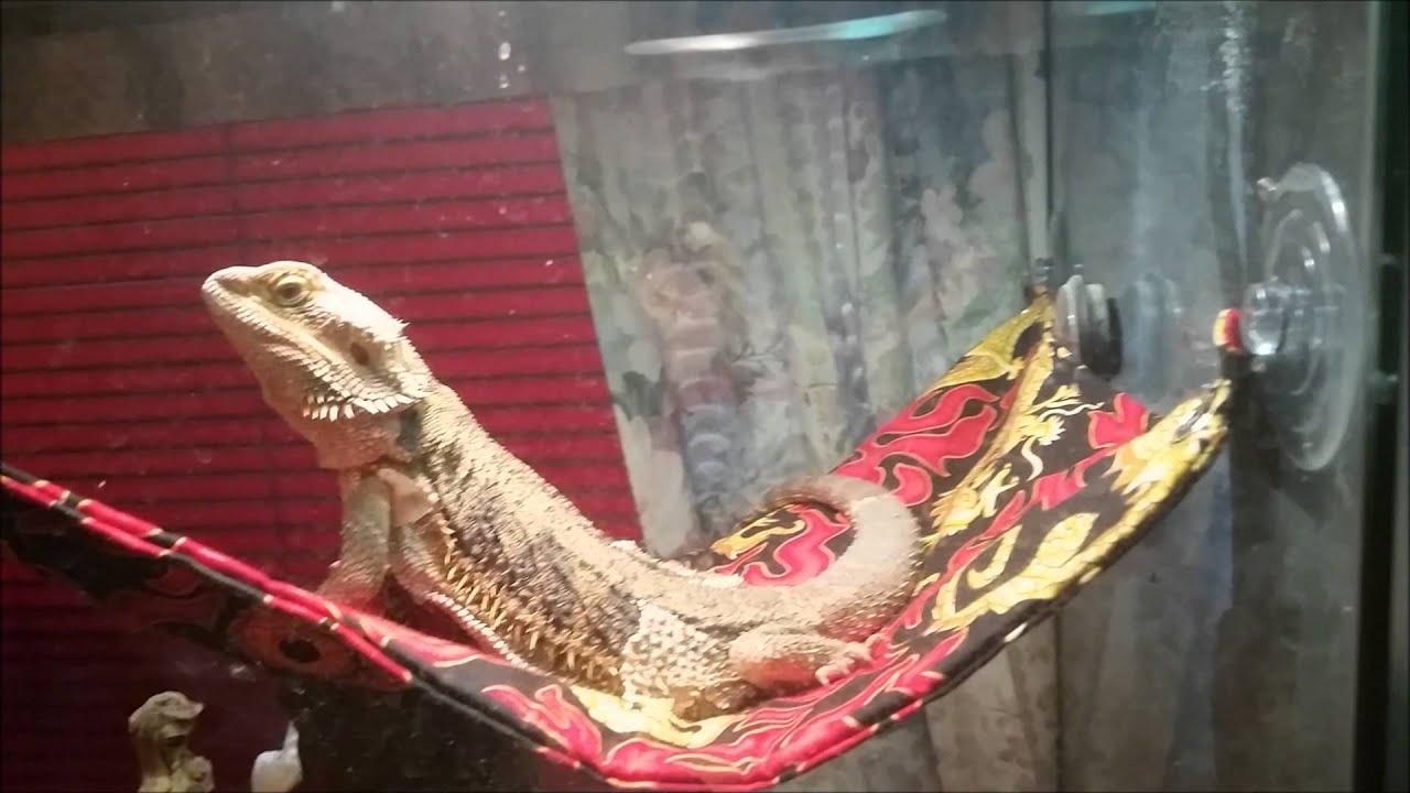 red bearded dragon klauth gets a new hammock  red bearded dragon klauth gets a new hammock    youtube  rh   youtube