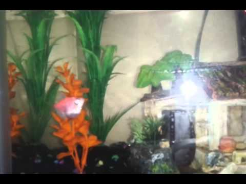 Glofish and African Dwarf frogs | Doovi