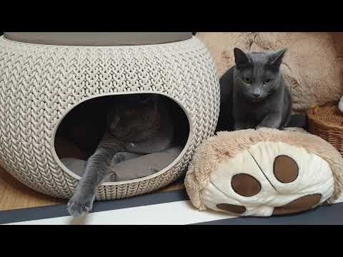 My cat is kneading♡ (Russian blue cats)