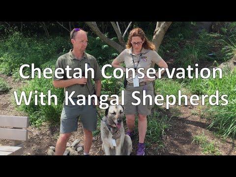 Cheetah Conservation-Kangal Shepherds (Indianapolis Zoo) - Episode 176