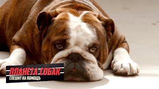 Английский бульдог. Планета собак спешит на помощь 🌏 Моя Планета