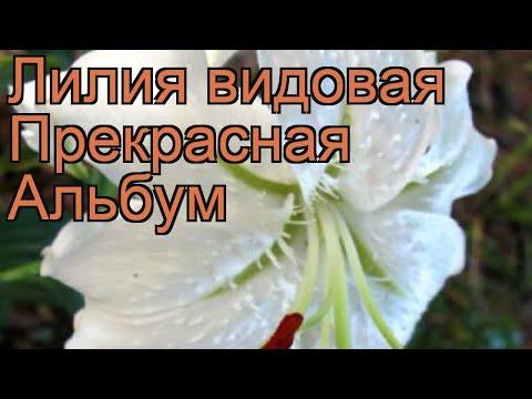 Лилия видовая Прекрасная Альбум (lilium) 🌿 обзор: как сажать, луковицы лилии Прекрасная Альбум
