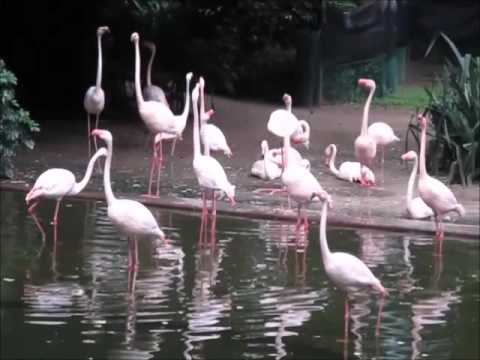 Flamingos of Kowloon Park (九龍公園)