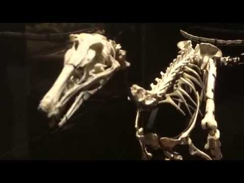 トロオドン類  Troodontidae:「大恐竜展」ゴビ砂漠の驚異