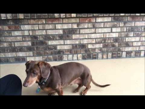 Teaching a Dog to Stop Barking with a