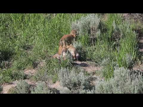 2018 Coyote Den Yellowstone NP