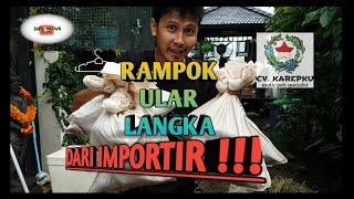 Download Video BAJAK KANDANG IMPORTIR BESAR DI SURABAYA @CV KAREPKU MP3 3GP MP4