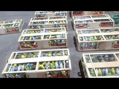 Export of Birds huge Revenue generated business shipment export from Karachi to Mucat