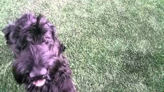 Vicious Giant Schnauzer Attacks Camera Man, Then Is Taken Down