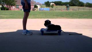 Rocky, Terrier Mix, Remote Collar Dog Training| On The Ball K9 Training| Denton Texas Dog Training