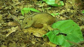 Полевая мышь, Striped field mouse (Apodemus agrarius)