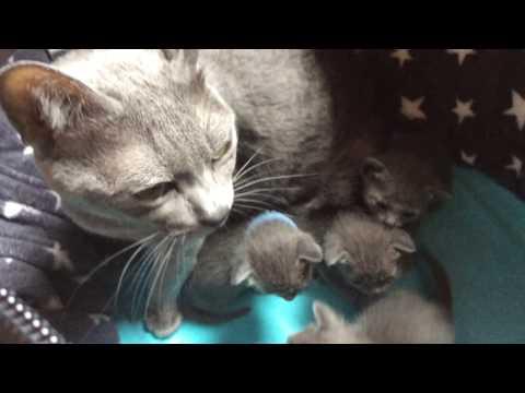 Candy & Kasem's Beautiful Korat Kittens