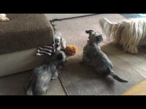 Skye terrier puppy morning playtime