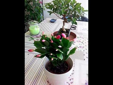 Cactus de navidad zygocactus truncatus schlumbergera for Cactus de navidad