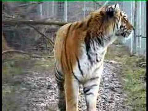 Des tigres en Seine-et-Marne