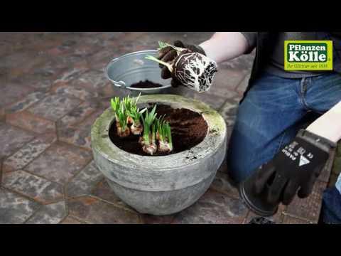 Osterglocken Einpflanzen In Ein Gefass Pflanzen Kolle Youtube