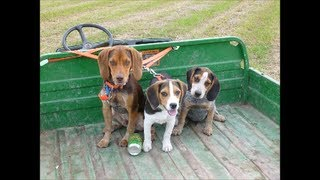 Beagle Boys Rabbit Hunting - Gator Ride And Training Pete 8-14-13