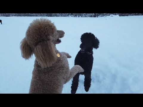 How much exercise do Standard Poodles need daily? Can you walk them in the snow?