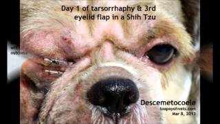 Corneal Ulcers In Dogs - Tarsorrhaphy To Treat Descemetocoele Successfully In A Dog