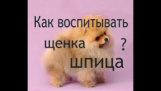 Как воспитывать щенка шпица ? Могут ли шпицы обижаться и мстить ?