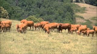 Vache Limousine