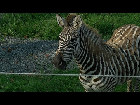 A tour of the Seneca Park Zoo's new Savanna Exhibit