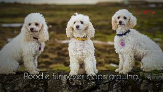 Top 10 facts about Poodles (Poodle Dog Breed Information)