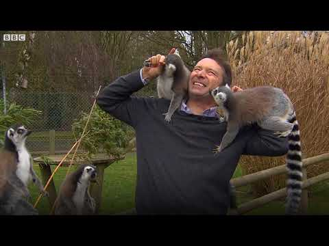 BBC correspondent mobbed by lemurs at Banham Zoo in Norfolk