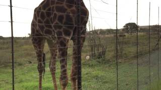 How to feed a Giraffe in South Africa