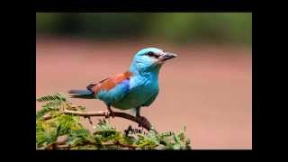 Download Ringtone birds beautifull MP3 song and Music Video