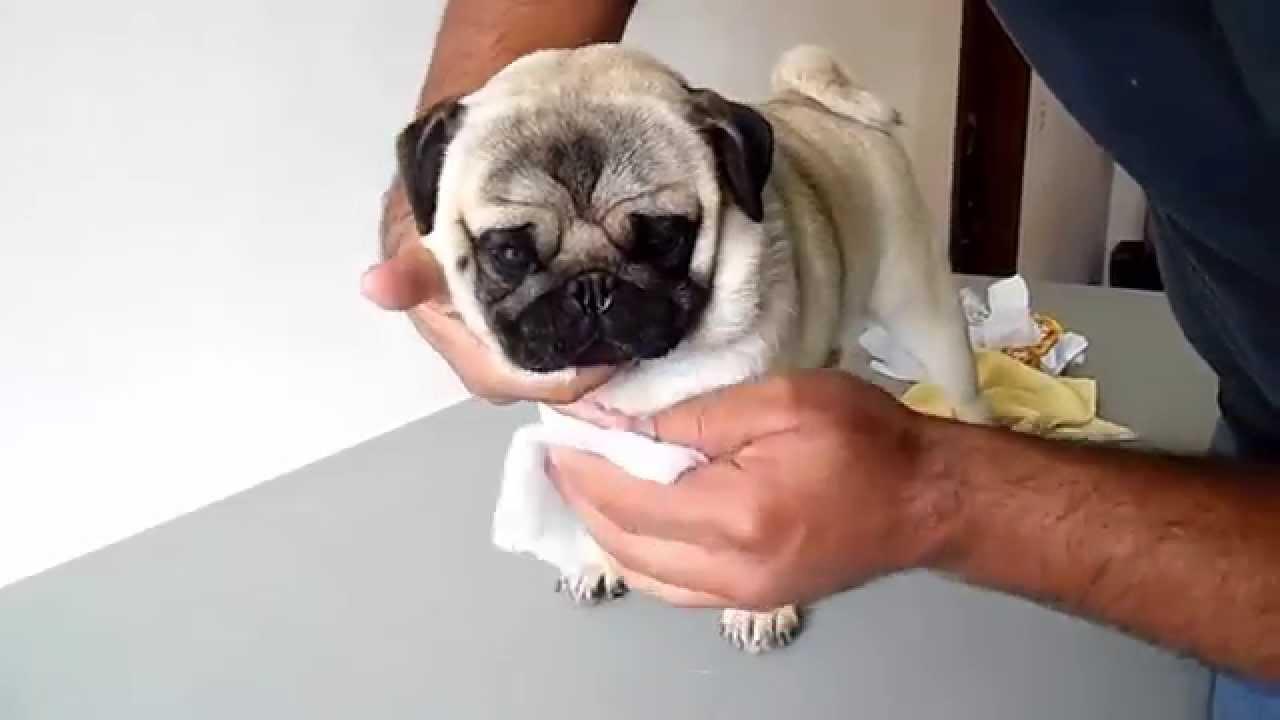 Consejos para cuidar a los Pugs