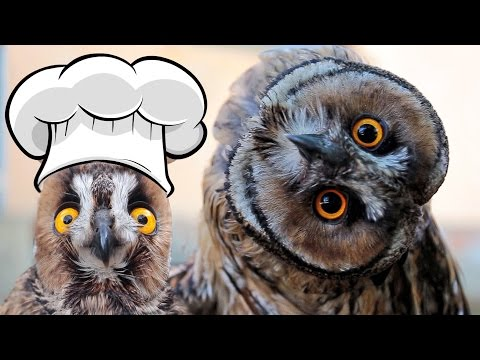 Mr.Ramsay the Owl - Best Recipe Compilation