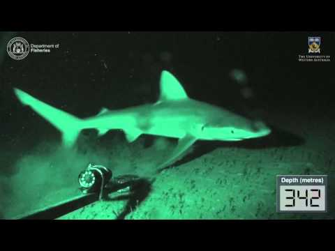 Baited Underwater Video From The Continental Slope, Abrolhos Islands, Western Australia